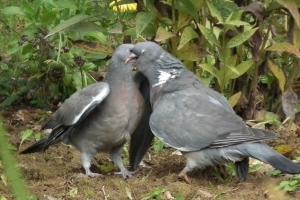 Pigeons ramiers via zozio.skynetblogs.be
