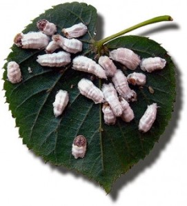 Cochenilles via sciencepresse.qc.ca