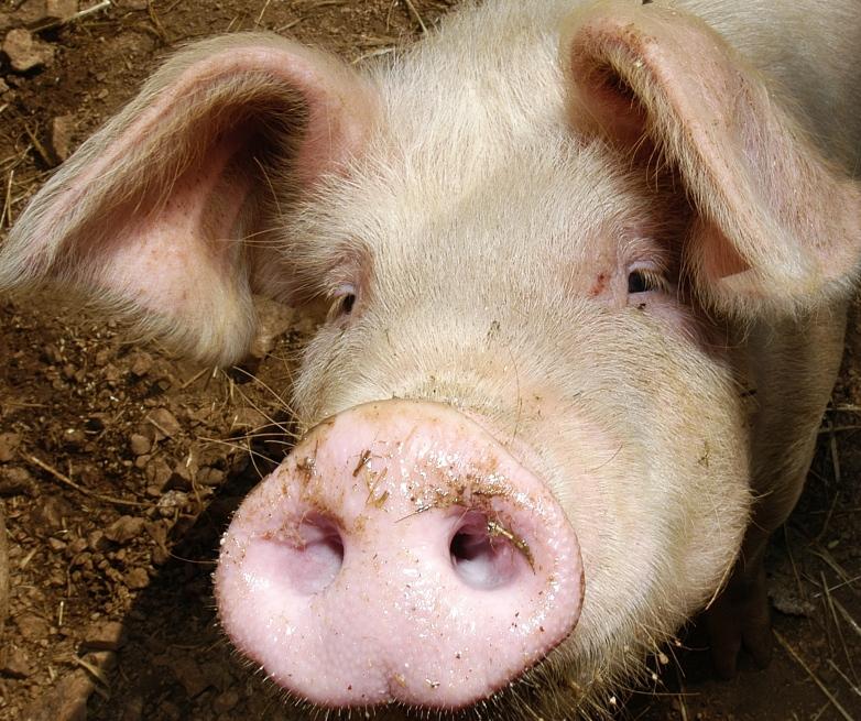 Resistance une t te de porc d pos e devant une mosqu e de bezan on espace d tente po sie - Tete de cochon a colorier ...