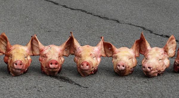 Têtes de porc via slate.fr