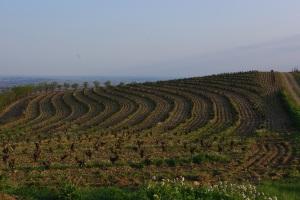 Vignes en terrasses à Faugères