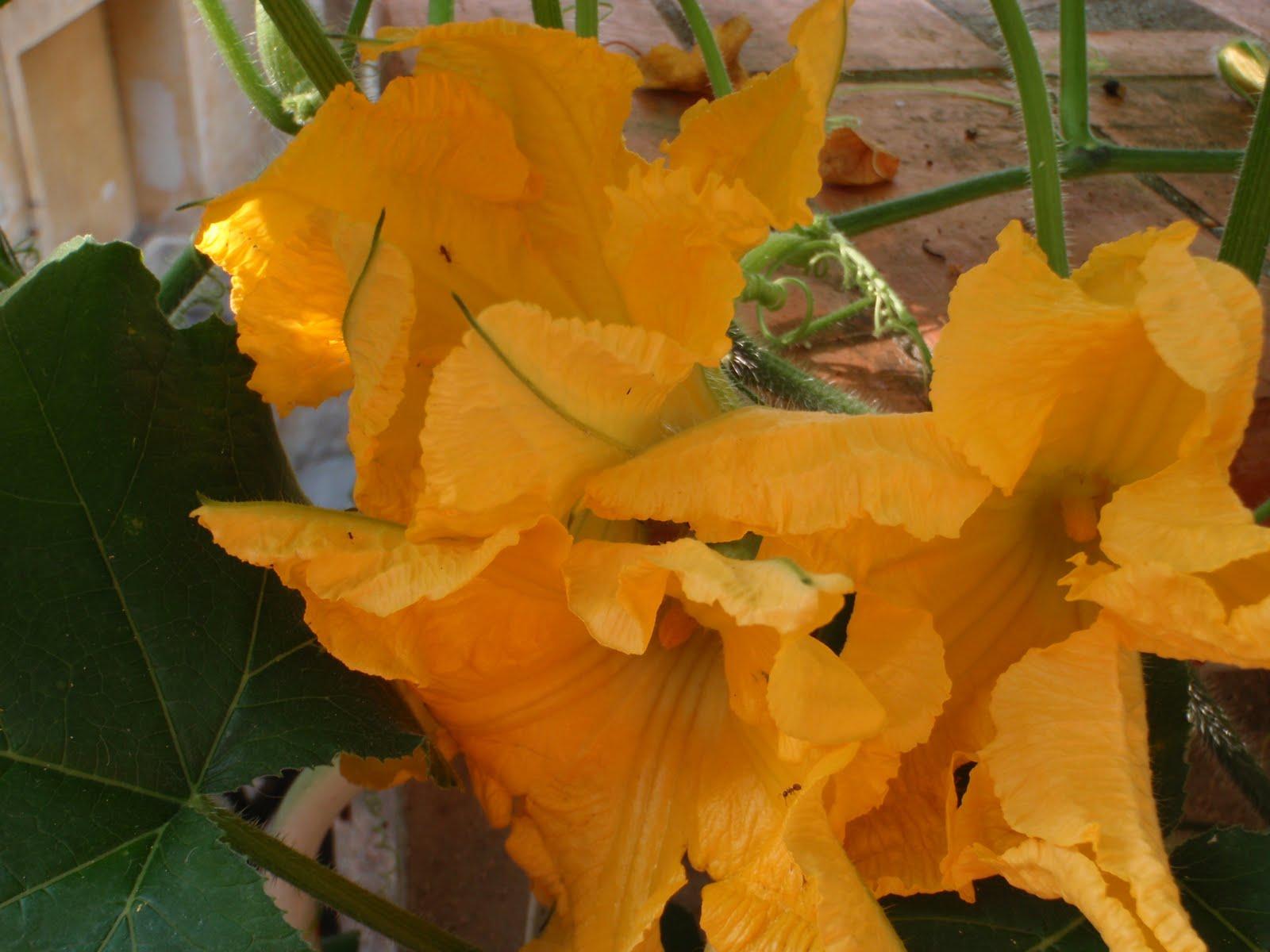 Les fleurs de courgettes greta garbure - Fleurs de courgettes au four ...