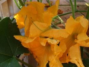 Fleurs de courgettes via moncarnetdecuisine.blogspot.com