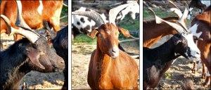 Chèvres du Rove via altergusto.fr