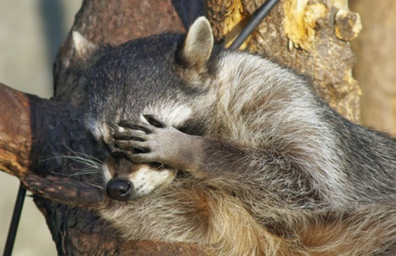 Raton Laveur Raccoon With Mange