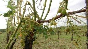 Vignes détruites par la grêle en Aquitaine via aquitaine.france3.fr