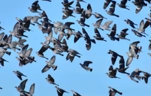 Vol de palombes via sauveterre-de-bearn.blogs.sudouest.fr