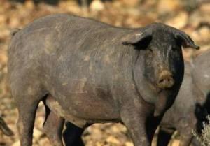 Porc noir ibérique