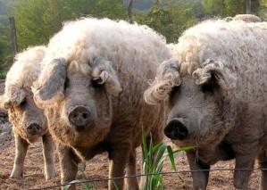 Porc hongrois mangalica