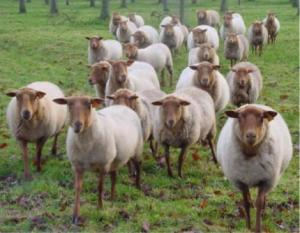 Moutons de Panurge via blogg.org