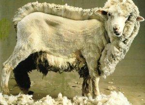 Mouton en cours de tonte via ouessant.moutons.free.fr