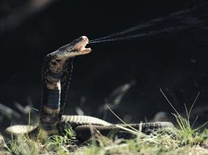 Serpent crachant son venin via univers-nac.com
