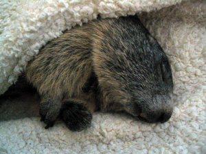 Marmotte via arbrealettres.wordpress.com