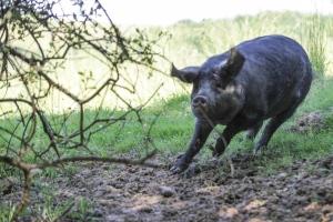 Coche noire de Bigorre via noirdebigorre.com
