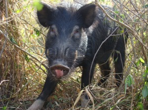 Cochon sauvage via biodiversite.nc