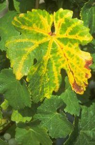 Flavescence dorée via ochato.typepad.com