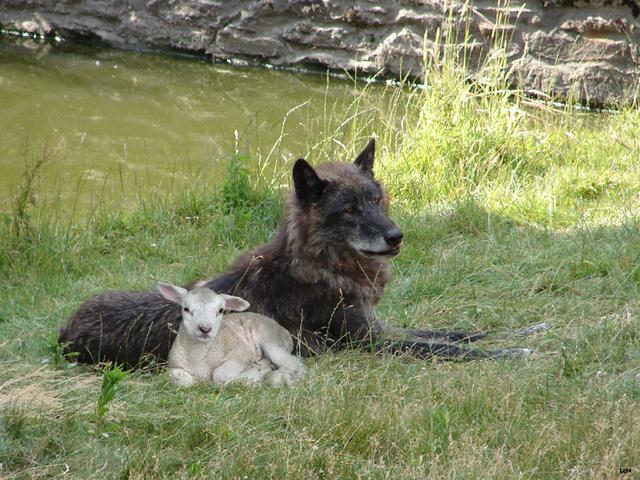 Le loup et l'agneau copains via photos.linternaute.com