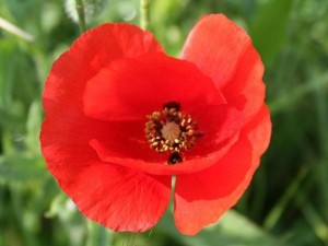 Coquelicot via lespetitsplatsdanslesgrands.over-blog.com