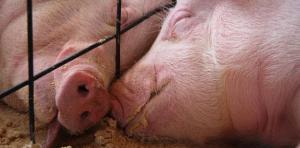 Câlin cochon via agri85.fr