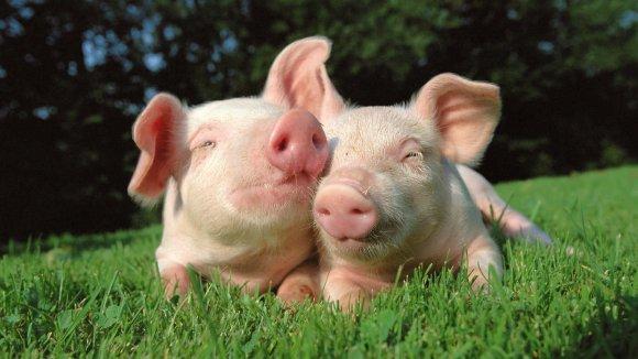 2 petits cochons via wallstock.fr