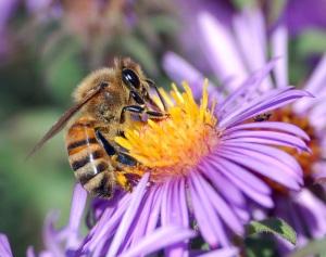 Abeille européenne butinant du nectar via wpclipart.com