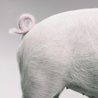 Baron de la queue de cochon greta garbure - Queue de cochon outil ...