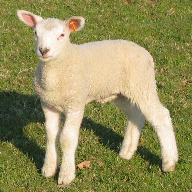Mouton de boucherie greta garbure - Dessin agneau ...