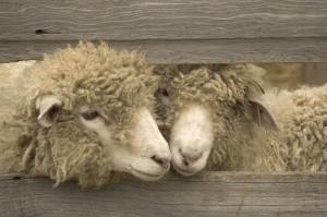 Moutons-côte-à-côte via onevoice.fr