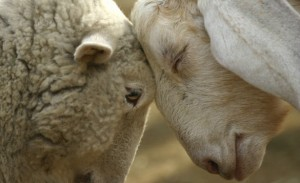 Moutons-front-contre-front via one-voice.fr