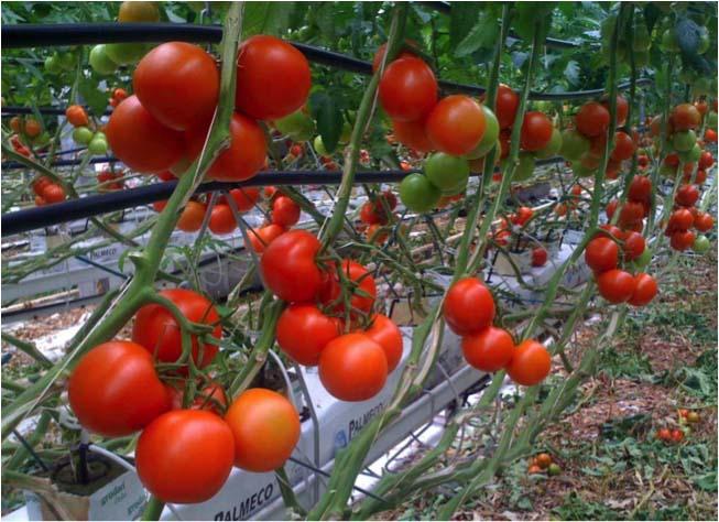 Tomates hors-sol via alpes-coccinelle.com